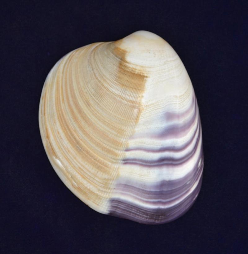 Wampum_shell